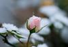 Rose (LuckyMeyer) Tags: winter snow rose rosa pink white green garden makro schnee