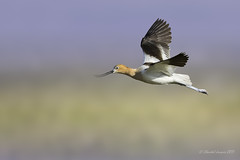 Birding Calgary- Avocet with flying colours (Chantal Jacques Photography) Tags: depthoffield wildandfree bokeh americanavocet flyingcolours