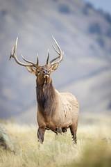 Rutting... (DTT67) Tags: elk bullelk rutt mammal animal montana nature rutbehavior wildlife nationalgeographic canon 500mmii 1dxmkii