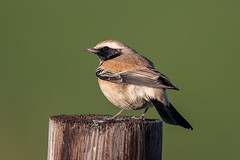 Desert Wheatear (Simon Stobart) Tags: desert wheatear male oenanthe deserti north england perched post yorkshire ngc npc