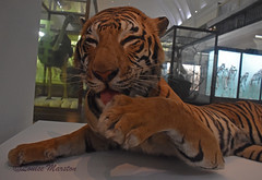 Taxidermy Bengal tiger at the Horniman Museum (this one belongs to the Natural History Museum) (louisemarston) Tags: london uk tiger hornimanmuseum foresthill