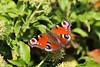 CKuchem-9496 (christine_kuchem) Tags: bauerngarten biogarten blüte blüten edelfalter efeu efeublüte garten hecke herbst kletterpflanze naturgarten nutzgarten privatgarten schmetterling sommer tagfalter tagpfauenauge naturnah natürlich