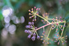Nature´s Fireworks (- A N D R E W -) Tags: carl zeiss jena tessar 50mm 28 dof depth bokeh nature naturaleza light luz sun sol leaves hojas manual focus vintage sony mirrorless full frame ilce7rm2 a7rii common ivy hedera helix