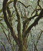 Bothe-Napa Moss Forest II (Ruby 2417) Tags: moss lichen forest tree napa strange bizarre odd peculiar unearthly weird tolkien