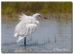 White Morph Reddish Egret (Betty Vlasiu) Tags: white morph reddish egret egretta rufescens bird nature wildlife florida