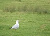 6450 Looking for worms - Chroicocephalus ridibundus - Black-headed Gull (Andy - Tak'n a breever) Tags: bbb bird blackheadedgull ccc chroicocephalusridibundus eastsussex ggg grass green gull pettlevels reeds rrr white winterplumage www