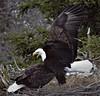 Bald Eagle Mating Rituals 300 (Insearchoflight) Tags: wildlife eaglesinthewild baldeagles americaneagles waynenorman insearchoflight avianwonders avianmating avianrituals stjohns cuckoldscove newfoundlandandlabrador canada