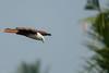 Brahminy Kite (JohnKuriyan) Tags: kakkanad kerala india in brahmini kite redbacked sea eagle