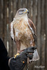 Orion (ToddLahman) Tags: orion ferruginoushawk ferruginous hawk animalambassador beautiful outdoors portrait hawktalk canon7dmkii canon canon100400 sandiegozoosafaripark safaripark escondido eyelock bird birds