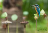 My Water Cup (melvhsc100) Tags: kingfisher bird bokeh blue water lily greenery park garden gardenbythebay wildlife nature nikon7200 tamron150600mm colors