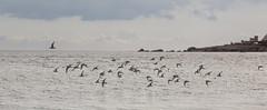 les bécasseaux (oras_et_marie) Tags: bretagne trévigon oiseaux bécasseau
