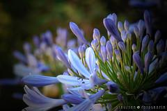 Agapantos (§TRUZYNA PHOTOGRAPHY) Tags: struzyna fotografía kaleidoscopio photography flowers flores blumenn agapanto blue kαλεîδοσκοπo lumix fz70 macro zoom floreciendo florido blooming blossom flourish blühend aufblühen blumig garden garten jardín spring summer