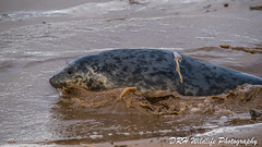 Surfs Up (davidrhall1234) Tags: greysealhalichoerusgrypus seal sea shoreline shore animal coast coastal countryside environment enjoying surfing surf mammal nature nikon outdoor outdoors wildlife world wildlifetrust