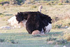 Mating ostriches (davidthegray) Tags: dehoopnaturereserve sudafrica indianocean gardenroute bird ostrich southafrica straus autruche birds struzzo 駝鳥 overbergdc westerncape za
