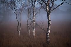 Misty Moorland (aveyardphotography) Tags: fog foggy mist misty birch silver trees nature strensall common reserve moorland heathland heath dark moody winter season cold