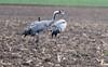 Kraniche bei Zingst auf dem Darß, deutsche Ostsee (Stefan Giese) Tags: nikon d750 afp70300mmf4556 70300mm kranich crane vogel bird dars zingst ostsee balticsea