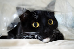 What do you mean I'm not getting any Christmas gifts this year? I was good .....Sometimes!!! (Captions by Nica... (Fieger Photography)) Tags: toby cat catmoments catportrait catseyes eyes pet portrait animal indoor whiskers adorable cuteness quebec canada feline