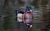 M. Wood duck / Mr Carolin (Franck Zumella) Tags: duck wood carolin canard mandarin branchu couleur color red blue green yellow jaune vert bleu rouge water lake eau lac wildlife vie sauvage nature bird oiseau