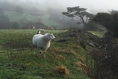 Brynllwyd, Aberystwyth (Rhisiart Hincks) Tags: niwl mist brumenn ceò laino lanbro aberystwyth ceredigion dafad ardi caora dañvad penndañvad sheep mouton defaid ardiak caoraich deñved moutons agriculture labourdouar laborantza tuathanachas nekazaritza amaethyddiaeth amaeth talmhaíocht gaeaf negu goañv gouañv hiver winter geamhradh ue eu ewrop europe eòrpa europa aneoraip a'chuimrigh kembra wales cymru kembre gales galles anbhreatainbheag