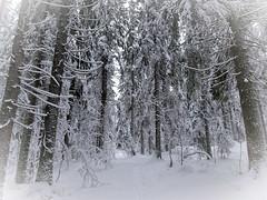 Christmas Eve - Finland (Sami Niemeläinen (instagram: santtujns)) Tags: joensuu suomi finland nature luonto metsä forest lumi snow joulu christmas kuhasalo north carelia pohjoiskarjala