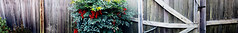 Fence with Berries (byzantiumbooks) Tags: werehere hereios oblong panoramic