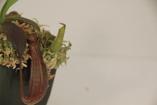 Nepenthes Macrovulgaris x Reinwardtiana