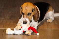 Merry Christmas (LuckyMeyer) Tags: beagle hund dog friend black white brown