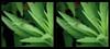 I'm Green with Envy 2 - Crosseye 3D (DarkOnus) Tags: condylostylus caudatus longlegged fly im green with envy diptera pennsylvania bucks county panasonic lumix dmcfz35 3d stereogram stereography stereo darkonus closeup macro insect crossview crosseye ttw