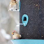 Common Redpolls thumbnail