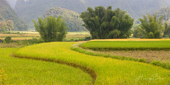 _U1H 1053,54-0917 Trùng Khánh,Cao Bằng (HUONGBEO PHOTO) Tags: mùagặt caobằng trùngkhánh mùathuhoạch ruộnglúachín north mountains harvestingseason bamboos curve countryside terraces vietnamlandscape northvietnam landscape highland outdoor