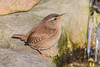 Wren (Linda Martin Photography) Tags: troglodytestroglodytes dorset wren backgarden wildlife birds uk nature coth alittlebeauty naturethroughthelens coth5 ngc npc
