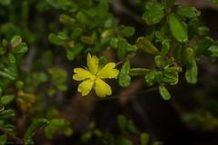 raspy guinea flower (dustaway) Tags: dilleniaceae hibbertia roughguineaflower australianplants yellowflowers hibbertiaaspera semiprostrateplant tabbimobleswampnaturereserve northcoast northcoastbotanicalsubdivision nsw nature australia