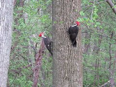 Woodpeckers by Mark Sweadner (Maryland DNR) Tags: 2017 photocontest spring woodpecker birds songbirds