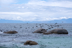 Cormorants (BrianEden) Tags: boulders za birds cormorant southafrica travelphotography travel xpro2 cormorants fuji bouldersbeach capetown travelphotographer fujifilm