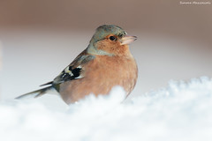 """Nella neve"" (Simone Mazzoccoli) Tags: winter outdoor nature naturephoto wild wildlife chaffinch snow colour"