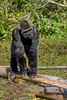 Le Gorille (musette thierry) Tags: musette thierry d600 nikon reflex gorille animal animalier animaux parc pairidaiza belgique hainaut brugelette