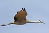 Sandhill Crane (Alan Gutsell) Tags: sandhill crane sandhillcrane bosque newmexico national park bird wildlife nature fields alan