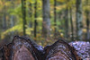 Timber!!! (Fourteenfoottiger) Tags: fall woods woodland forest timber trees treetrunk wood textures patterns bark fallen felled autumn newforest nature bokeh meyergorlitztrioplan28100mm trioplan28100mm leaves leafy vintagebokeh vintagelens manual manualfocus