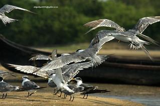 IMG_8025 Greater Crested Tern (Thalasseus bergii)