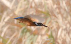 Rapide comme l'éclair (philippeoros) Tags: kingfisher bif en vol martin pêcheur deurope martinpêcheur