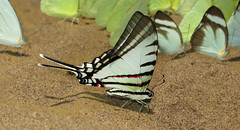 Neographium agesilaus (Camerar 4 million views!) Tags: butterfly karen neographiumagesilaus papilionidae peru butterflies insect