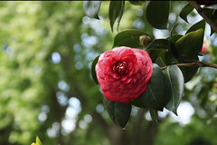 Camélia (Maria A Monteiro) Tags: camélia bokeh camellia arlivre natureza nature vermelho verde red green rouge vert flor flower