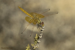 The wings of young Kirbyi (Ricardo Menor) Tags: odonatos anisópteros trithemiskirbyi dragonflies dragonfly libélulas airelibre iluminaciónnatural sierraespuña sierraespuña2016 2016 libélulasmurcianas libélulasdemurcia odonata insecto macrofotografía