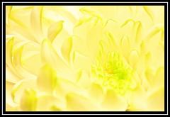 """Petalling..."" (NikonShutterBug1) Tags: macro closeup nikond7100 nature flower spe smartphotoeditor tamron60mmmacro petal"