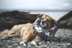 49/52 - cherish the moment... (yookyland) Tags: 52weeksfordogs 2017 misty 4952 dog winter beach island water morning light driftwood scarf