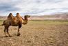 Khongoryn Els, Mongolia - Singing Sands (GlobeTrotter 2000) Tags: dalanzadgad els khongoryn khongorynels asia camel desert dunes gobi holidays mongolia nature sand travel övörkhangai