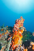 Sahoung I - 5 (Rhapsody-In-Blue) Tags: indonesia indonésie sulawesi célèbes manado gangga ganggaisland bangka bangkaisland underwater sea underwaterambiance wideangle grandangle paysage ambiance canon1740mm sealife marinelife sahoungi sahoung corals coral sponge sponges éponges éponge corail coraux