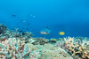 shark1Oct26-17 (divindk) Tags: fiji fijianislands shark southpacificocean triaenodonobesus underwater whitetipreefshark whitetipshark whitetippedreefshark diverdoug fearsome hunter jaws marine ocean predator reef sea teeth underwaterphotography