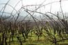Wineyard in Tuscany (Lorenzo Azzarri Photography) Tags: tuscany toscana vite wine wineyard wines vini vitigni viticultura photography photographer fotografia fotografi nebbia vino viti rosano italia italy vigneto vigneti italiani italiano tralci