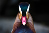 Portrait einer Mandarinente (marcoverch) Tags: bird unique duck bill colorful face mandarin nature vogel noperson keineperson one ein poultry geflügel wildlife tierwelt natur portrait porträt animal tier zoo sideview seitenansicht outdoors drausen ente color farbe motley bunt daylight tageslicht profile profil feather feder blur verwischen wild waterfowl wasservögel newyork rail catwa colours starwars butterfly downtown kids texture truck mandarinente